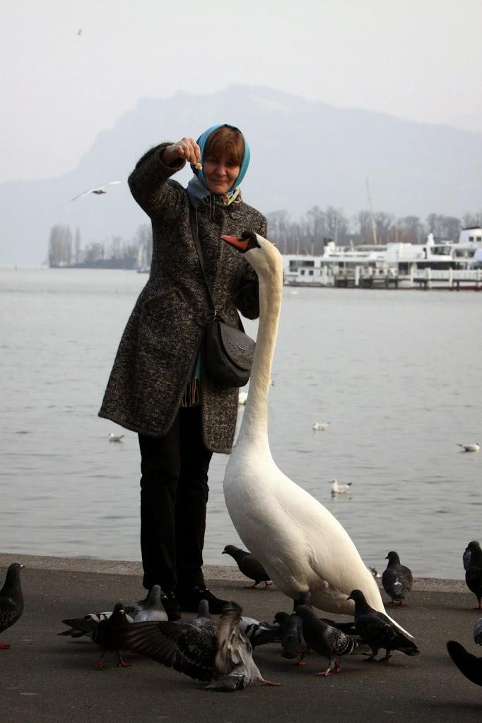 Люцерн лебеди